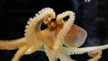 全ゲノムが解読されたOctopus bimaculoides (出典元より)