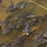 神戸大、大阪大谷大、兵庫県立大 コイの外来種、川の水から侵入を判定