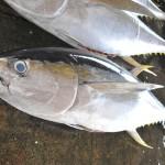 近畿大学水産研究所がキハダマグロ稚魚の海上飼育に成功
