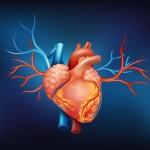 京都大学 効果の高い移植条件を特定- iPS細胞から心筋細胞-