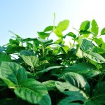 JIRCASなど 塩害に負けない大豆の遺伝子を発見