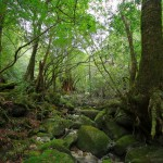 神戸大学が屋久島で新種の植物「ヤクシマソウ」発見