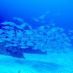 わずかな海水から魚の居場所と量を探知 舞鶴湾で実証 神戸大学ほか