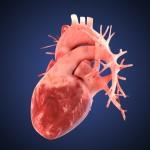 iPS細胞から心筋細胞の作製に成功 心臓再生医療に光 慶應義塾大学