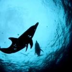 イルカの里親行動を世界で初めて確認 近畿大学