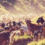 家畜ヤギは肥沃な三日月地帯から拡散した、DNA解析で解明 名古屋大学など