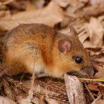 福島県の野ネズミの生殖細胞について放射線の影響を調査 北里大学ほか