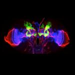 光と熱で神経回路を活性化、生きた昆虫の脳に人工的な記憶の形成に成功 筑波大学