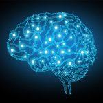 脳内免疫細胞が脳の回路形成を促進 山梨大学ほか