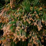 千葉大学がスギ花粉症の「予防」治験者を募集