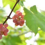 糖輸送タンパク質が植物ホルモン「ジベレリン」を輸送