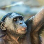 老眼は目の酷使と無関係か 京都大学が類人猿ボノボの老眼を発見