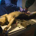 中央大学と宇宙航空研究開発機構(JAXA)がイヌ用人工血液の合成に成功